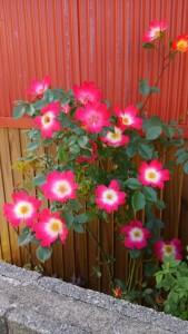 春のバラ-2