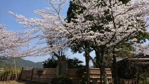 大覚寺-桜