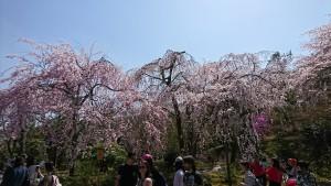 天龍寺-シダレザクラ