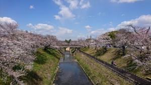 百十郎桜-1