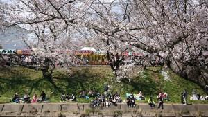 百十郎桜-2