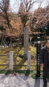 中将姫誓願桜-1