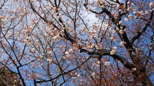 中将姫誓願桜-2
