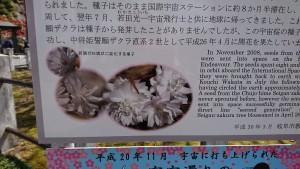 中将姫誓願桜-3