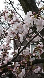 2020-西川通り桜-1