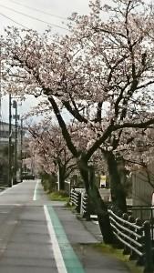 2020-西川通り桜-2