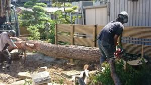 松の木-4